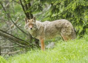dreamstime_xs_31419743 coyote